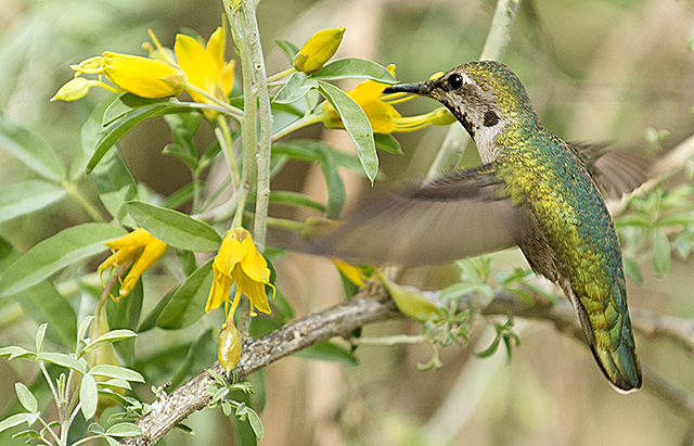 A hummingbird visits a Brittlebush blossom at the Biotrek Ethnobotany Lab at Cal Poly Pomona.