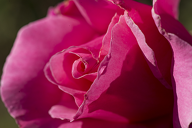 A Century Two rose blooms in the Kellogg Rose Garden at Cal Poly Pomona.