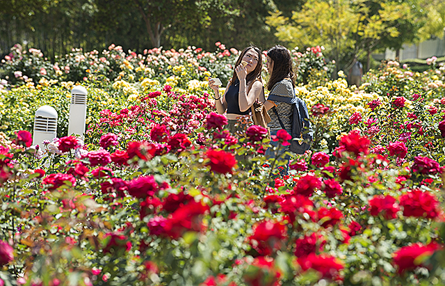 Students walk throught the Kellogg Rose Garden at Cal Poly Pomona.