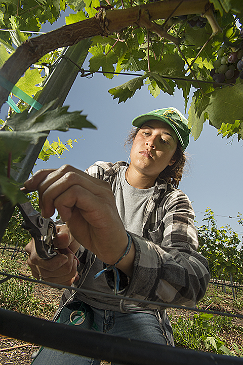 Huntley Vineyard Pruning
