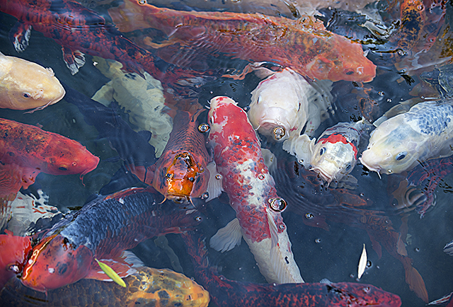 Koi look for a handout at the Aratani Japanese Garden pond at Cal Poly Pomona.