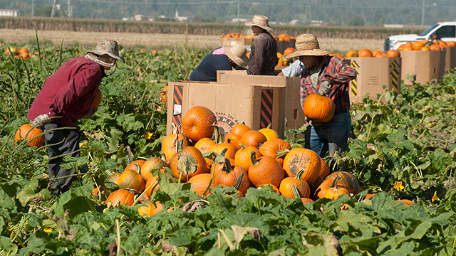 The harvest for Cal Poly Pomona's 23rd Annual Pumpkin Festival Oct. 17-18 has begun.