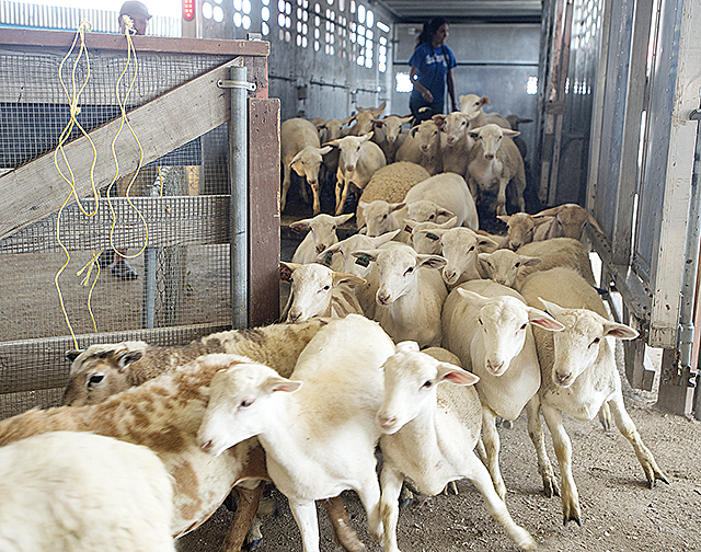 LA County Fair Sheep and Goats