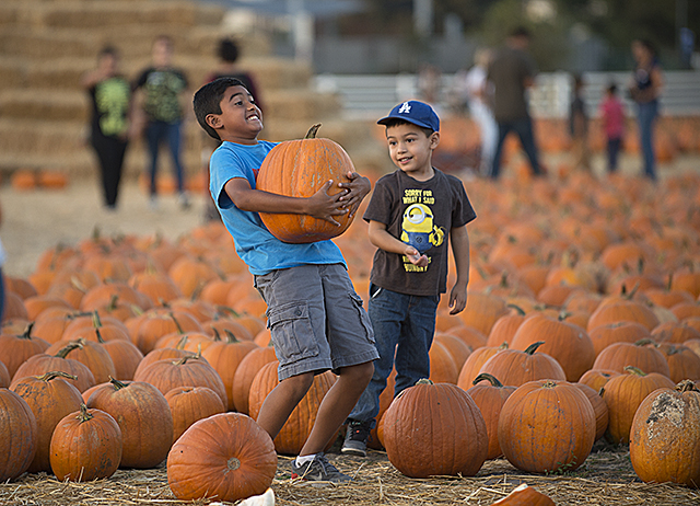 Youngsters pick out their favorite pumpkin at the Cal Poly Pomona pumpkin festival patch during Alumni Preview Night.