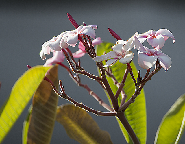 A plumeria blooms at Agriscapes at Cal Poly Pomona.
