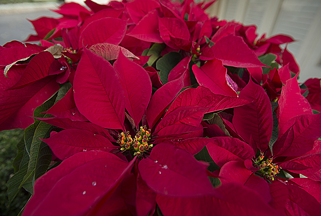Poinsettia flowers at the Manor House at Cal Poly Pomona.