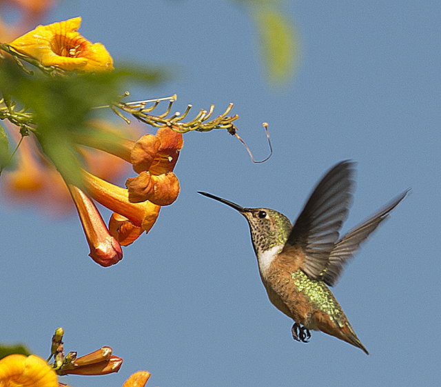A hummingbird looks for a meal near a bush at Agriscapes at Cal Poly Pomona.