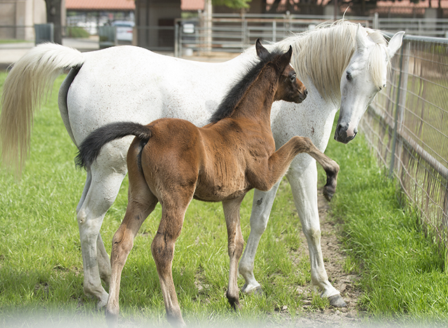 CP Spell Bound and her month old colt by PA Kid Khan at the WK Kellogg Arabian Horse Center at Cal Poly Pomona.