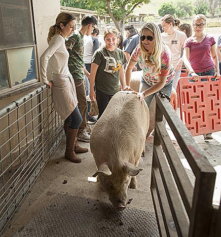 Hog Weigh-in