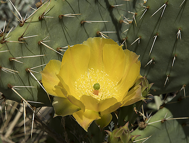 Pricklypear Cactus Bloom