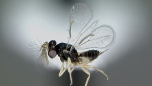 The Tamarixia radiata wasp is a natural parasite of the Asian citrus psyllid.