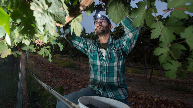 Students and staff members harvest zinfandel grapes in the Huntley Vineyard at Cal Poly Pomona. The grapes are harvested in the predawn hours to ensure the highest quality grape.