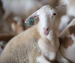 A Cal Poly Pomona goat on loan to the LA County Fair
