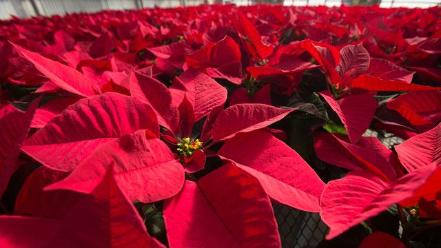 Poinsettias growing in an Agriscapes greenhouse at Cal Poly Pomona November 10, 2016.