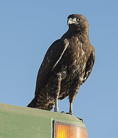 A hawk sits atop a Cal Poly Pomona tractor in a field at Agriscapes.