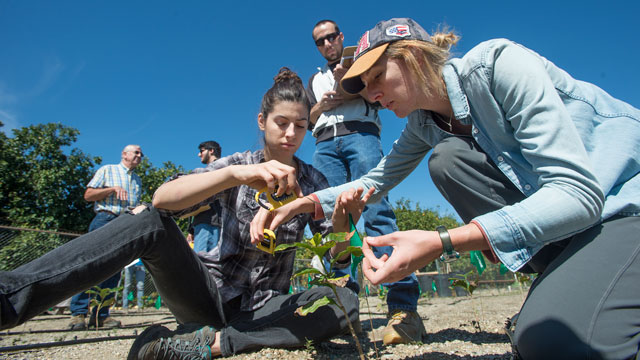 Irena Ilic and Hannah Sanderfer measure a coffee plant growing near a Cal Poly Pomona citrus orchard.