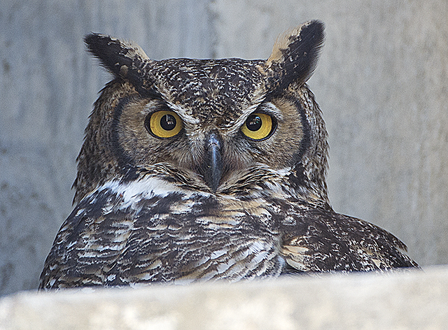 An owl stares out from the College of Environmental Design building at Cal Poly Pomona.