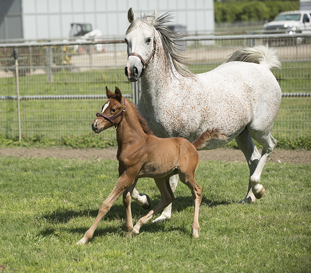 B Witched and her two week old colt trot around a Arabian Horse Center pasture at Cal Poly Pomona.