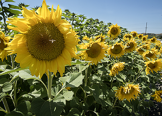 Spadra Sunflowers