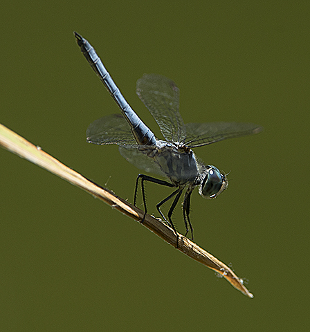 A dragonfly rests at the Aratani Japanese Garden at Cal Poy Pomona.