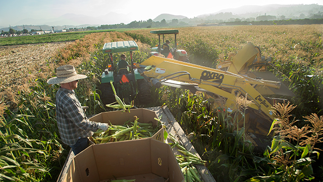 Workers and tractors harvesting corn on the field