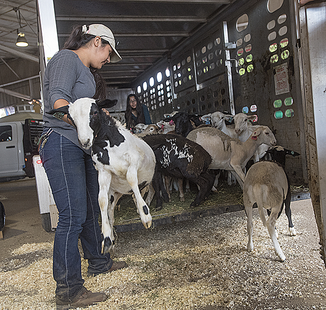 Daniella Martinez helps sheep and goats leave a trailer as they enter their new home at the Los Angeles County Fair petting zoo. The sheep and goats will return to Cal Poly Pomona when the fair ends.