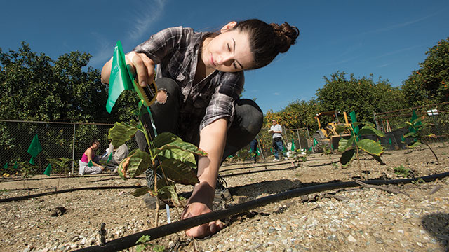 Irena Ilic measures a coffee plant growing near the citrus orchard as part of a class project that tests which varieties are growing best in Cal Poly Pomona fields.