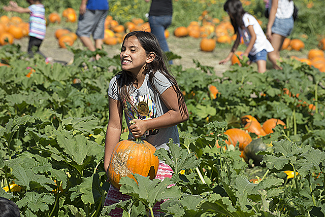 Kathy Jacobo finds a pumpkin to her liking at the  the 2017 Pumpkin Festival at Cal Poly Pomona.
