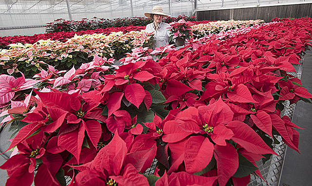 Nursery Manager Monica Salembier tends to poinsettias growing in an Agriscapes greenhouse at Cal Poly Pomona.
