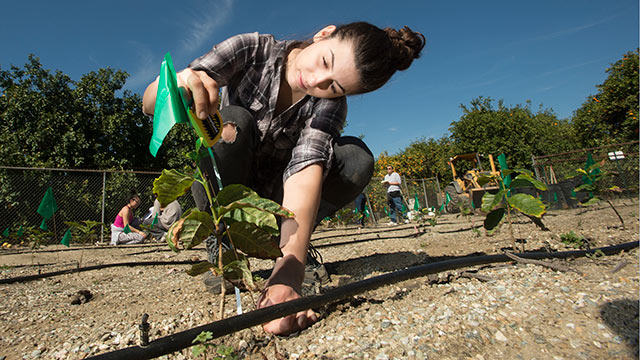 Irena Ilic measures a coffee plant growing near a Cal Poly Pomona citrus orchard. Various coffee plants are growing at the site, and classes measure the plants to see which variety is most successful.