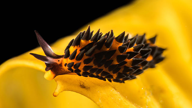 Placida brookae, one of three newly discovered species of sea slugs, named after Brooke Peterson, the diver who collected the specimens from Catalina Island.