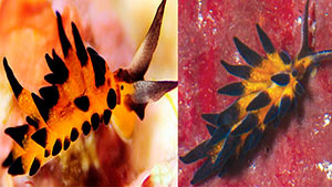Pictured left: Placida barackobamai, named for President Barak Obama. Pictured right: Placida kevinleei, named for Kevin Lee, adventurer, naturalist and photographer.