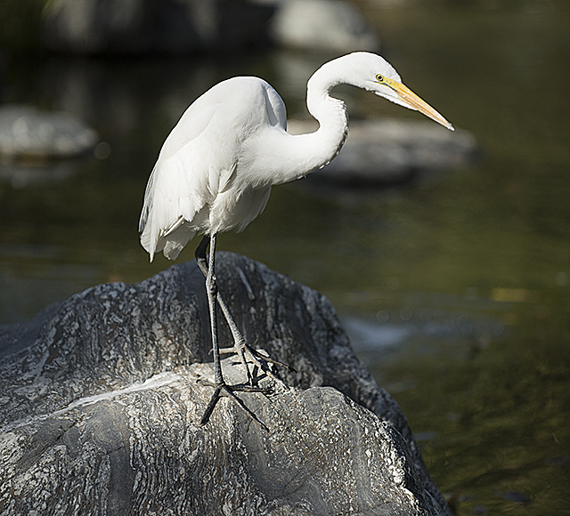 An egret looks for lunch at the Aratani Japanese Garden pond.