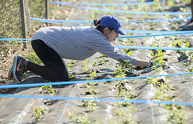 Rachel Orellana plants bee-friendly plants near parking lot M as part of her Plant Science 131 class at Cal Poly Pomona.