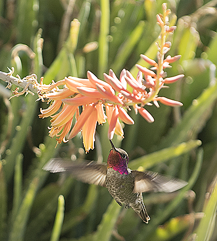 A hummingbird looks for lunch on the Fourth Floor landing of the CLA building at Cal Poly Pomona.