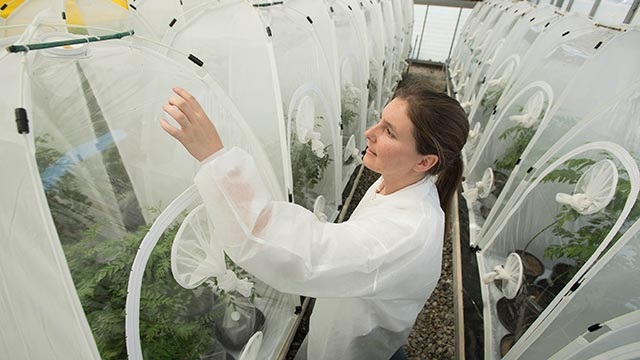 Researcher Grace Radabaugh, of the California Department of Pesticide Regulation, points to a citrus psyllid in a Cal Poly Pomona greenhouse.
