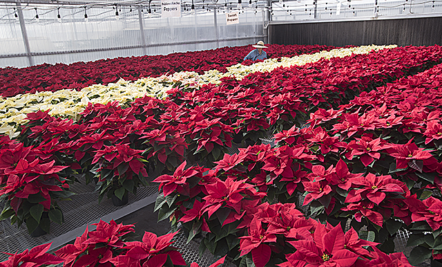 Poinsettias Greenhouse
