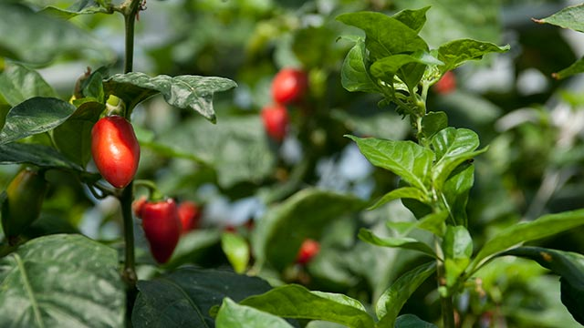 Pepperzania at the Cal Poly Pomona Nursery from April 12 to 14 will feature more than 100 varieties of peppers.