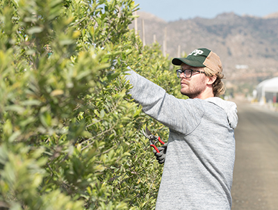 Huston Albachten prunes trees during his internship with TreeTown USA in Perris, Calif.