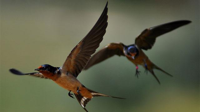 2 Barn Swallows flying
