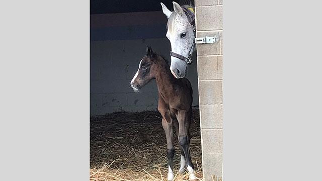 Dillon, a foal born at the Kellogg Arabian Horse Center