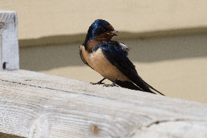 Swallow sits on a gate in Mongolia.