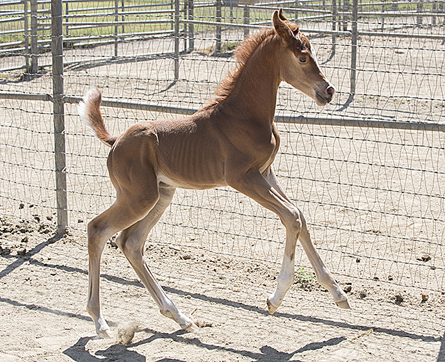 Brooklyn, the newest foal at the WK Kellogg Arabian Horse Center at Cal Poly Pomona.