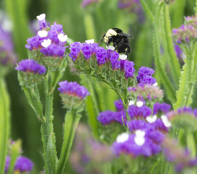 Agriscapes Bumblebee