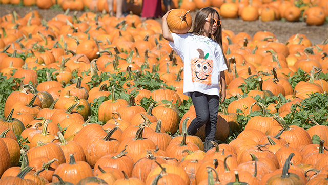 A young girl carries a pumpkin at the CPP pumpkin patch.
