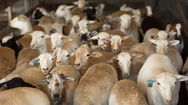 Cal Poly Pomona sheep at the LA County Fair (photo taken pre-pandemic)