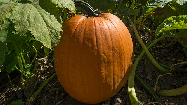 A lone pumpkin in the Cal Poly Pomona pumpkin patch which is closed for this 2020 season.