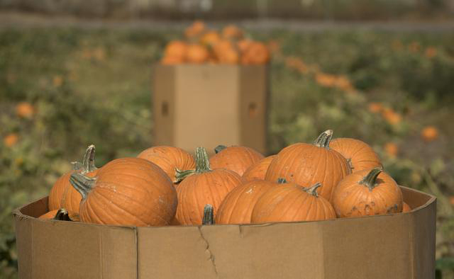 Pumpkins Are Ready