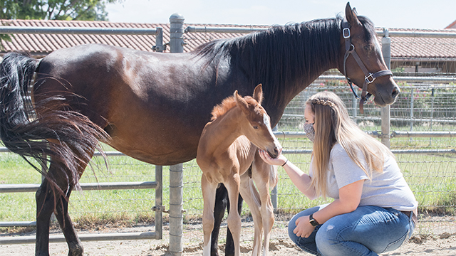 Natalie Moreno poses with a foal and it's mother at the W.K. Arabian Horse Center.