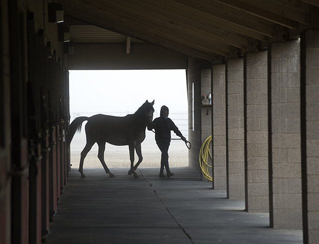 Mahalia Garzon Boctor leads Bedazzled during a foggy morning at the WK Kellogg Arabian Horse Center at Cal Poly Pomona.